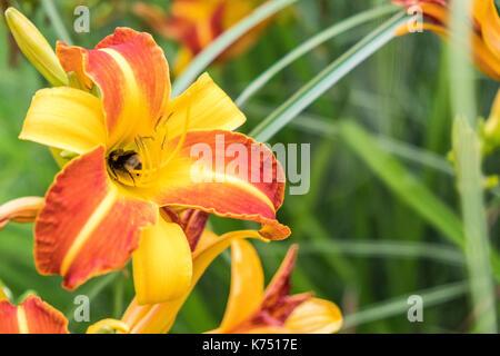 Red , orange and yellow Bonanza flowers at University of Nottingham - Stock Photo
