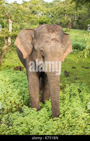 Wild elephant in Yala National Park, Sri Lanka - Stock Photo
