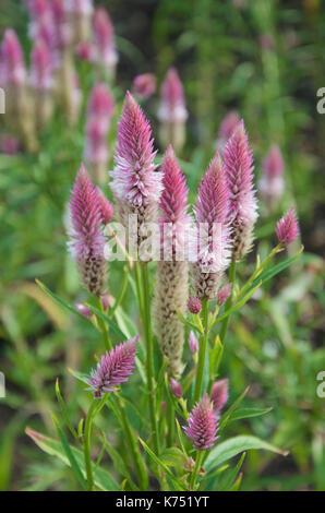 Celosia argentea (Spicata Group) Flamingo Feather - Stock Photo