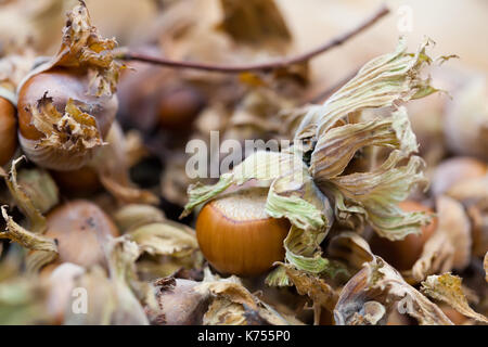 Hazelnut filbert nut Corylus Maxima. Organic cobnuts autumnal harvest still life photo. Macro view, selective focus - Stock Photo