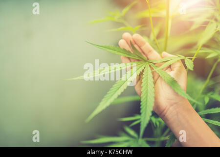 marijuana plant in hand - Stock Photo