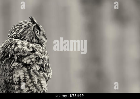 Eurasian Eagle-owl - Bubo bubo - Stock Photo