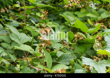 Meadow brown butterfly, Maniola jurtina, feeding on a blackberry flower on a blackberry bush growing in an english - Stock Photo