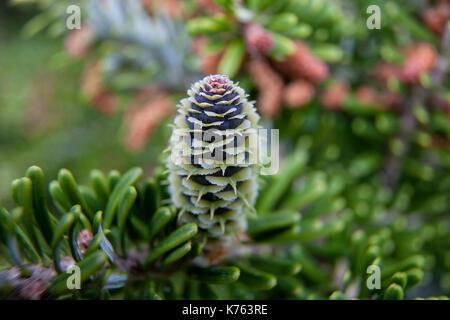 Rare conifers: Korean fir. Cones of the fir. Macro - Stock Photo