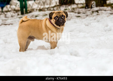 Pug in snow.  Pug is in the snow in the park. - Stock Photo