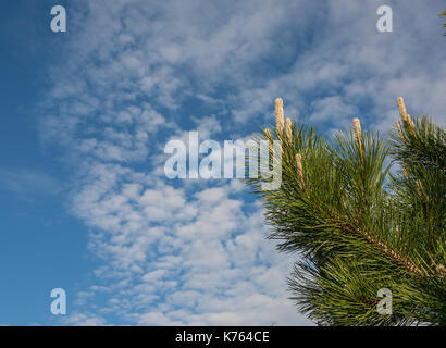 Flower Pinus montana (Pinus Mugo), blooming female cone  on the background of blue sky and white clouds - Stock Photo