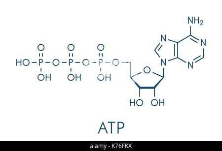 Adenosine triphosphate (ATP) molecule. Functions as neurotransmitter, RNA building block, energy transfer molecule, - Stock Photo