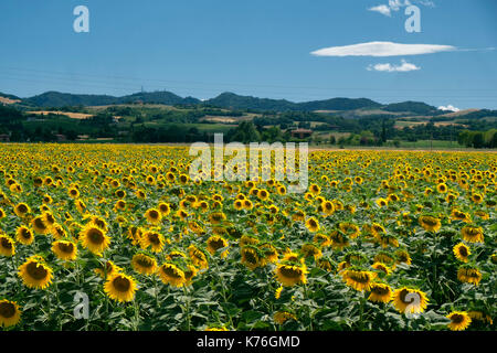 Field of sunflowers along the via Emilia near Gallo, between Osteria Grande and Castel San Pietro. Rural landscape - Stock Photo