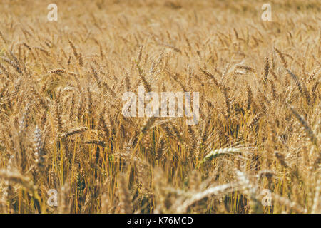 Closeup on organic golden ripe ears of cereal culture in field, agriculture background - Stock Photo