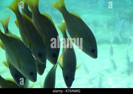 Shoal of Blue-stripe Snapper (Lutjanus Kasmira) - Stock Photo