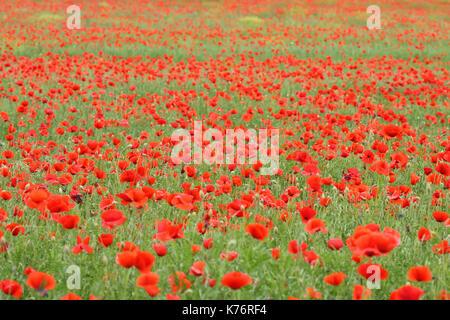 Poppy field (Papaver rhoeas) - Stock Photo