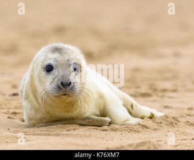 Cute Grey Seal Pup on Winterton/ Horsey Gap Beach/ North Norfolk/ England/ UK/ British Isle. - Stock Photo