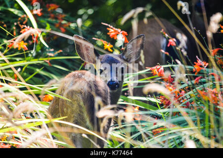 Fawn in the Wild - Stock Photo
