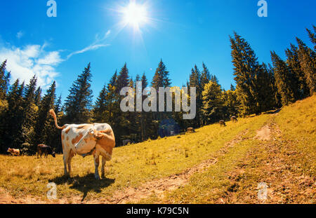 Spotted white cow looks to the left on alpine meadow with high fir trees against the blue sky with the sun and clouds - Stock Photo