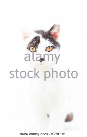 Portrait of a white and gray cat on white background - Stock Photo