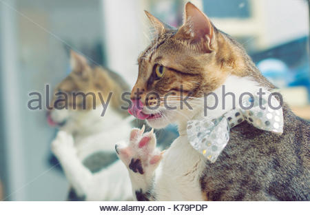 Cat licks itself - Stock Photo