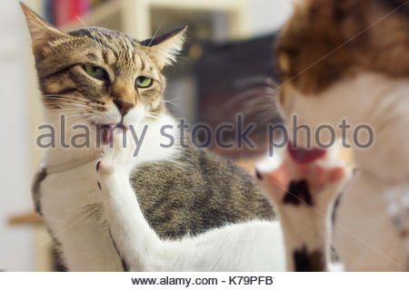 Cat licks itself in front of a mirror - Stock Photo