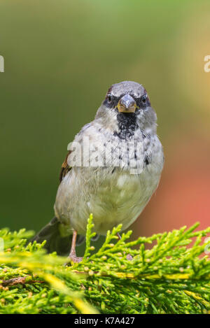 Adult male House Sparrow (Passer domesticus) perched on a bush facing the camera in early Autumn in West Sussex, - Stock Photo