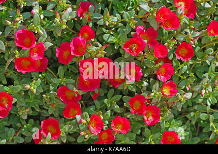 Portulaca grandiflora, the Moss rose or Rose Moss, native to South America, family Portulacaceae - Stock Photo