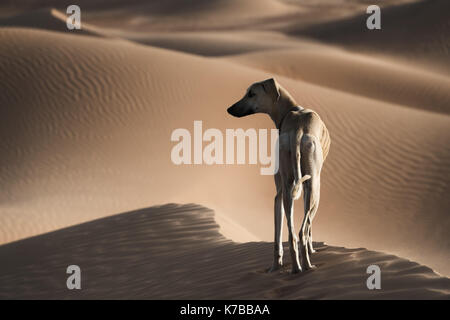 A Sloughi (Arabian greyhound) in the desert of Morocco. - Stock Photo