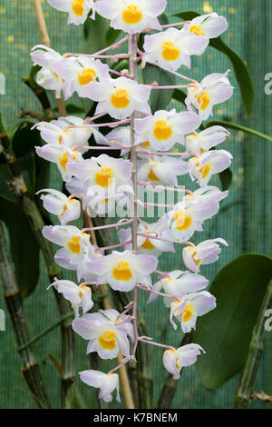 Densely flowered dangling spike of the Vietnamese orchid, Dendrobium amabile Stock Photo