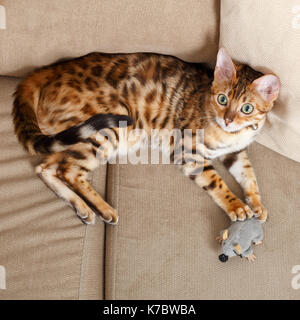 Female Bengal cat kitten on sofa playing with a toy mouse  Model Release: No.  Property Release: Yes (cat). - Stock Photo