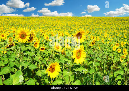 Field of many sunflowers and a blue summer sky with clouds in daylight in horizontal landscape composition - Stock Photo
