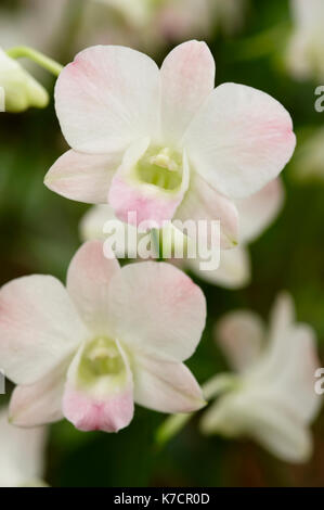 PALE PINK DENDROBIUM ORCHID Stock Photo