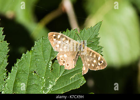 Male Speckled Wood - Stock Photo