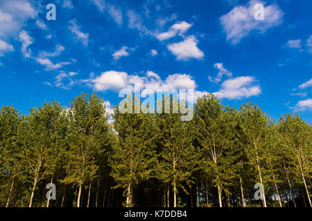 Poplars seen from below in front of a cloudy blue sky - Stock Photo