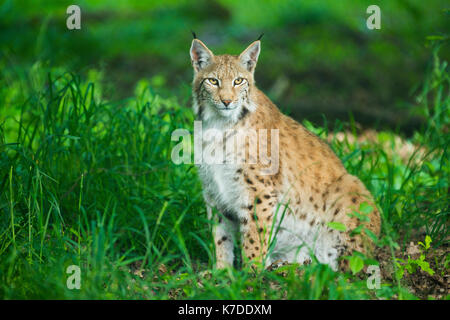 Eurasian lynx (Lynx lynx), sitting in the grass, captive, Bavaria, Germany - Stock Photo