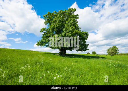 Old Large-leaved Linden (Tilia platyphyllos), solitary tree, 400 years old, Thuringia, Germany - Stock Photo