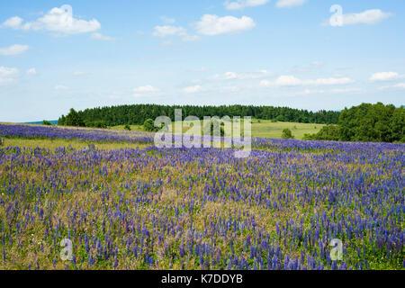 Large-leaved lupin (Lupinus polyphyllus), Rhön Nature Reserve, Rhön Biosphere Reserve, Germany - Stock Photo