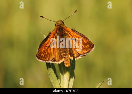 Male Large Skipper butterfly - Stock Photo