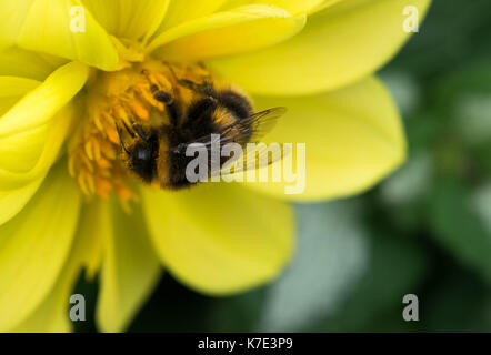 bee collecting nectar on beautiful flowers. - Stock Photo