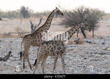 Giraffe in Namiba's Etosha National Park - Stock Photo
