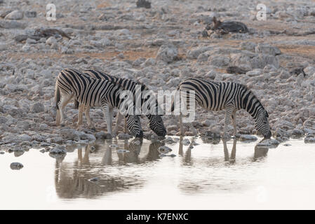 Zebra drinking from a waterhold - Stock Photo