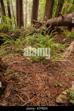 Redwood Forest in Northern California, Color Image - Stock Photo