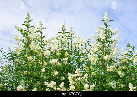 Shrub privet white blossoming spring on the sky with clouds. - Stock Photo