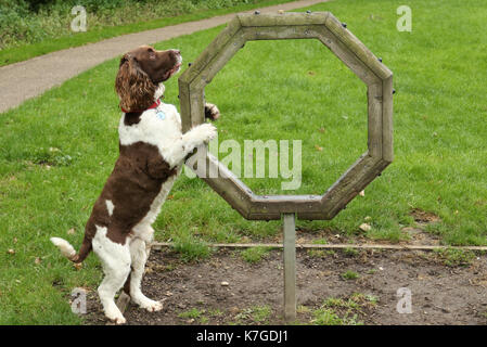 A cute English Springer Spaniel Dog (Canis lupus familiaris) attempting agility. He hasn't really come to grips - Stock Photo