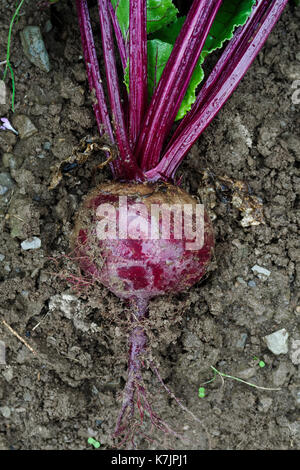 Freshly pulled up red beetroot lying on wet soil from above. - Stock Photo