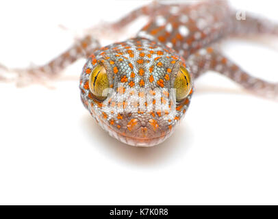 close up Tokay Gecko, Gekko gecko, against white background - Stock Photo