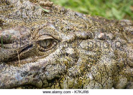 Portrait of an Estuarine Crocodile crocodylus porosus - Stock Photo