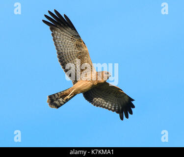 Juvenile Spotted Harrier - Stock Photo