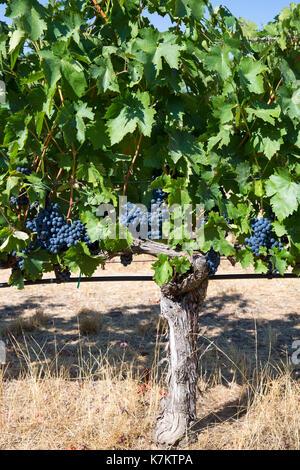 Tempranillo grapes at Finca Villacreces, Ribera del Duero wine production bodega by River Duero, Navarro, Spain - Stock Photo