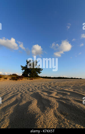 Sand dunes formed by wind and a lone pine tree on the horizon. Hoge Veluwe National Park, Netherlands, 15 September 2017