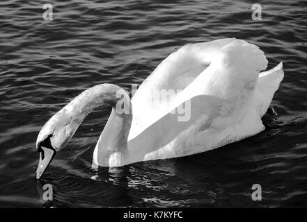 swan monochrome close-up  photo. Beautiful picture, background, wallpaper - Stock Photo