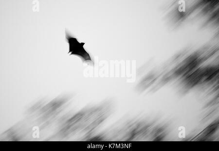 Black Flying Fox, Pteropus alecto - Stock Photo