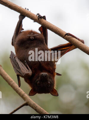 Little red flying-fox, Pteropus scapulatus - Stock Photo