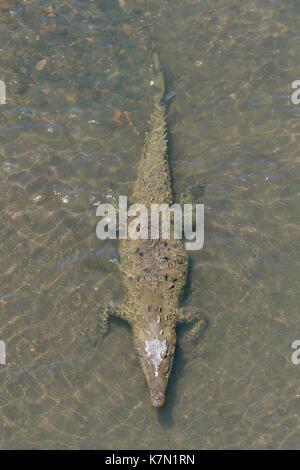 American crocodile (Crocodylus acutus) in the water, Rio Tarcoles, Carara National Park, Province of Puntarenas, - Stock Photo